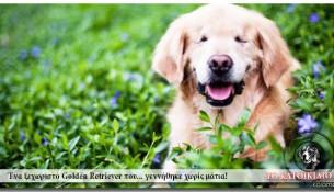 smiley-tyflo-golden-retriever